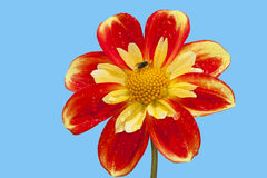 Dahlia pooh flower. Against blue background Stock Image
