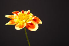 Dahlia pooh flower. Against black background Stock Photo