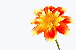 Dahlia pooh flower. Against white background Stock Images