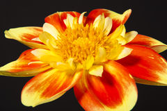 Dahlia pooh flower Stock Photography