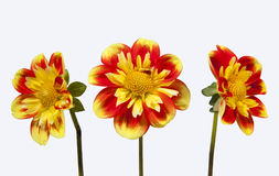 Dahlia pooh flowers. Trio of dahlia pooh flowers against white background Royalty Free Stock Photo