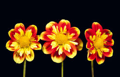 Dahlia pooh flowers. Trio of dahlia pooh flower against black background Stock Images