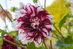 Dahlia pourpre blanc bicolore dans le jardin photo stock