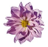 Dahlia purple flower  on an isolated white background with clipping path. Closeup. No shadows. Royalty Free Stock Image