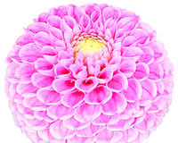 Dahlia, purple,lilac colored flower on white background Royalty Free Stock Photos