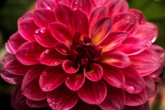 Dahlia after the rain Royalty Free Stock Image