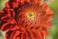 Dahlia - red blossom Royalty Free Stock Photos