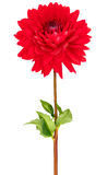 Dahlia, red colored flower head with green stem and leaf Stock Images
