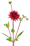 Dahlia red colored flower with green stem and leaf. Dahlia, elegant, red colored, with green stem, studio shooting, depth of field on white background Royalty Free Stock Photo