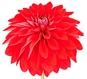 Dahlia red colored flower. Macro, isolated. Dahlia, elegant, red colored, studio shooting, depth of field isolated on white background. Wallpaper, close up Royalty Free Stock Image