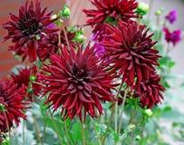 Dahlia Royalty Free Stock Photo