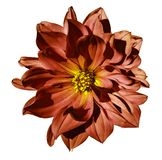 Dahlia red  flower  on an isolated white background with clipping path. Closeup. No shadows. Royalty Free Stock Photography
