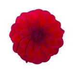 Dahlia Red ha isolato Bello fiore su priorità bassa bianca fotografia stock