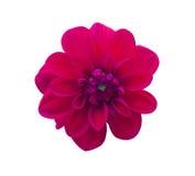 Dahlia Red ha isolato Bello fiore su priorità bassa bianca Immagini Stock Libere da Diritti