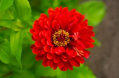 Dahlia with red leaves from above, with yellow center stock images