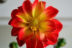 Dahlia red tipped yellow petals with yellow eye macro. Dahlia is a genus of bushy, tuberous, herbaceous perennial plants native to Mexico. A member of the royalty free stock photos