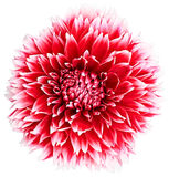 Dahlia flower red, white colored, Studio shooting. Dahlia, elegant, red, white colored flower head, studio shooting, depth of field on white background Stock Photos