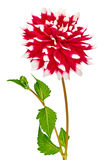 Dahlia, red, white colored flower head with stem and leaves Stock Photography