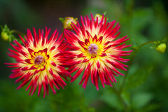 Dahlia red and yellow flowers in garden full bloom Stock Photos