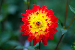 Dahlia red and yellow flowers in garden full bloom Royalty Free Stock Photos