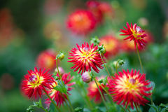 Dahlia red and yellow flowers in garden full bloom Royalty Free Stock Images