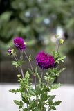 Close-up of vivid purple dahlia flowers and green leaves with nice bokeh. royalty free stock photo
