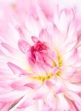 dahlia rose Photos libres de droits