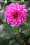 Dahlia rose Photo libre de droits