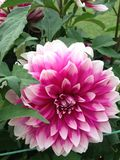 Dahlia rose Photos libres de droits