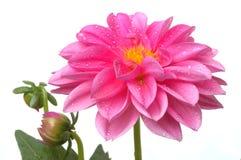 Dahlia rose avec des baisses de l'eau Photographie stock libre de droits