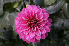 Dahlia rose givré photos stock