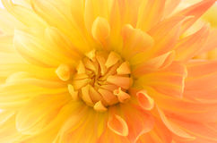 Dahlia rose jaune Images libres de droits