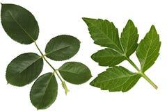 Dahlia and Rose Leaf. Isolated on white background Royalty Free Stock Image