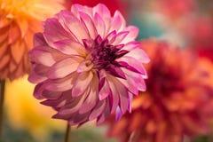 Dahlia rose rond vibrant photo libre de droits