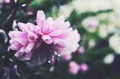 Dahlia rose tendre sur le fond vert après la pluie Image stock