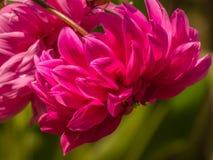 Dahlia Rosea, dália anêmona-florescida vermelha Fotografia de Stock Royalty Free
