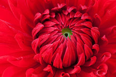Dahlia rouge Photos stock