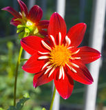 Dahlia rouge photographie stock