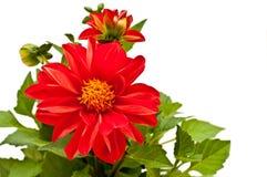 Dahlia rouge Photo libre de droits
