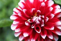 Dahlia rouge Image libre de droits
