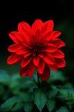 Dahlia rouge Image stock