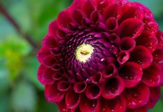 Dahlia rouge photos stock