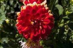 Dahlia rouge Images libres de droits