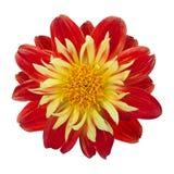 Dahlia rouge et jaune photos libres de droits
