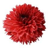 Dahlia rouge Fleurissez sur un fond d'isolement par blanc avec le chemin de coupure Pour la conception closeup Photographie stock