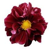 Dahlia rouge Fleurissez sur un fond d'isolement par blanc avec le chemin de coupure Pour la conception closeup Images stock