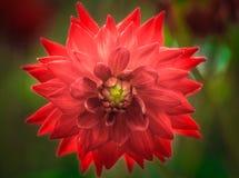 Dahlia rouge magnifique Photographie stock libre de droits