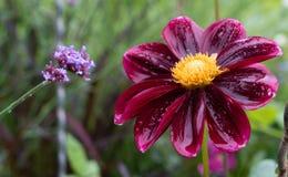 Dahlia rouge sur un beau fond brouillé dans le jardin Photographie stock