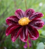 Dahlia rouge sur un beau fond brouillé dans le jardin sur l'île de Mainau en Allemagne Image libre de droits
