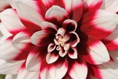 dahlia's Royalty-vrije Stock Afbeelding